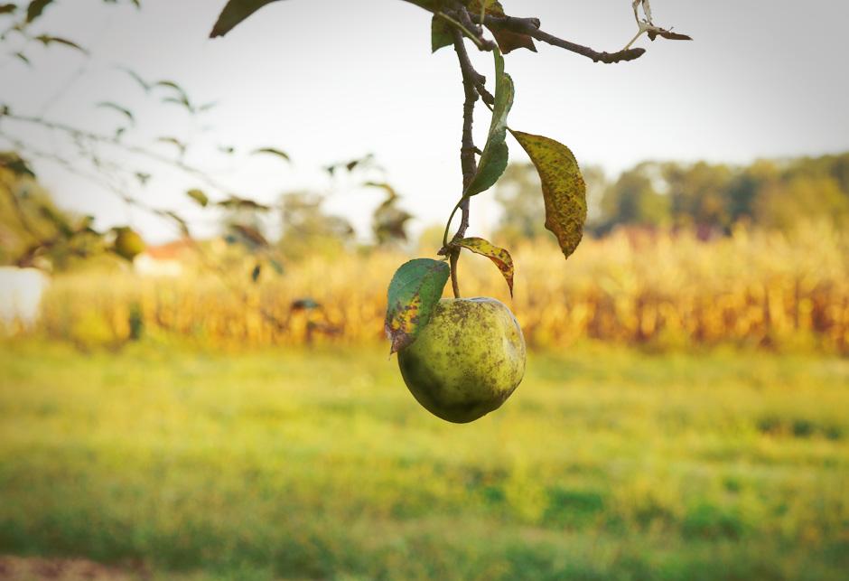jabuka drvo